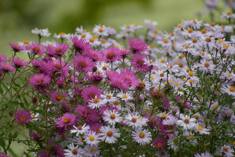 Asters, Flowers, Garden, Petals, Aster Petals, Bloom