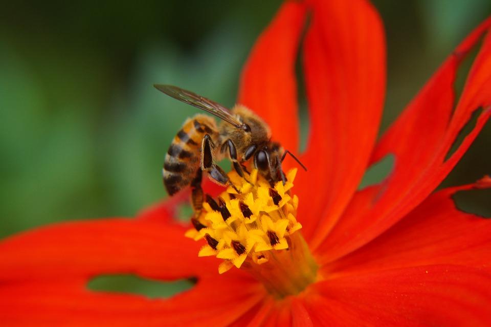 Bee, Pollination, Pollen, Petals, Stamens, Garden