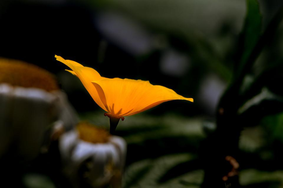 Poppy Flower, Petals, Orange, Blooming, Garden, Macro