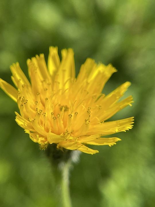 Hawkweed, Flower, Plant, Yellow Flower, Petals, Bloom