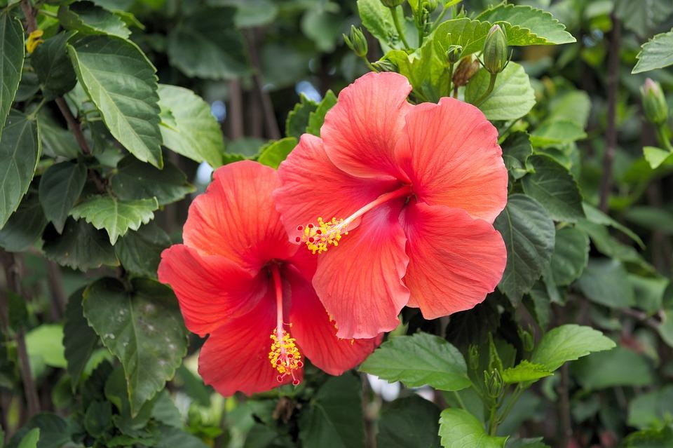 Hibiscus, Red, Flower, Bloom, Nature, Flora, Petals