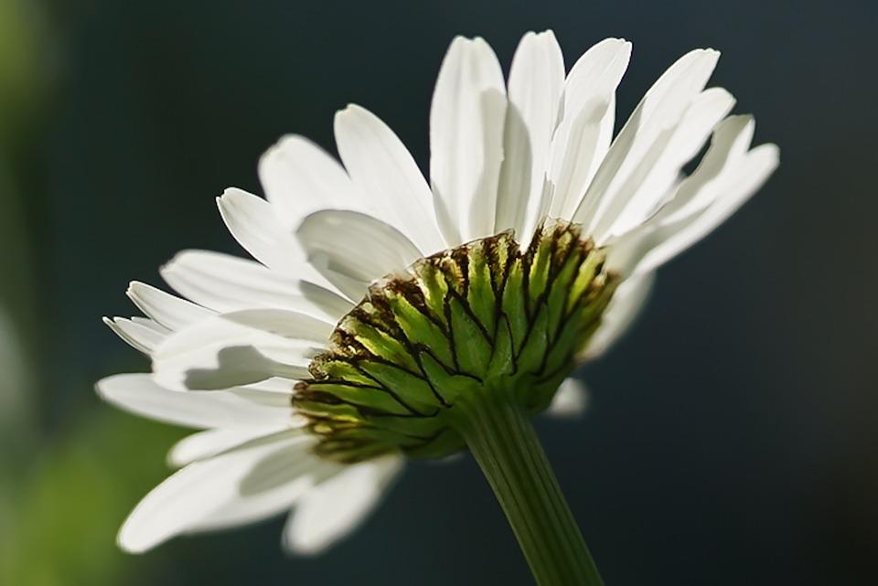Marguerite, Flower, Plant, Daisy, White Flower, Petals