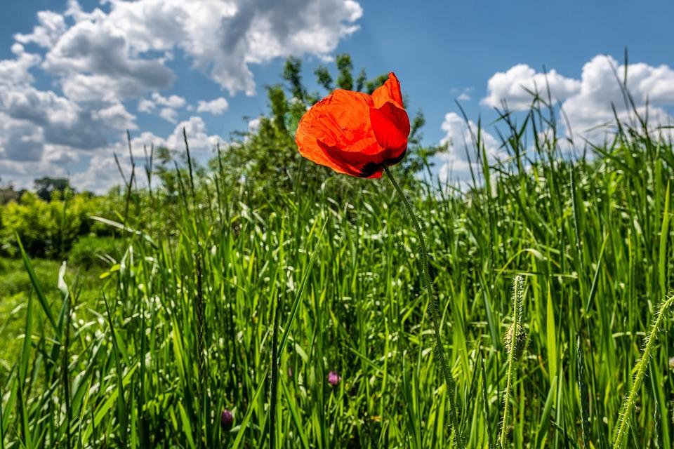 Poppy, Flower, Petals, Grass, Meadow, Field
