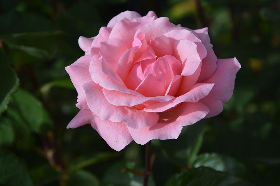 Pink, Rosebush, Petals, Nature, Flower, Blossomed