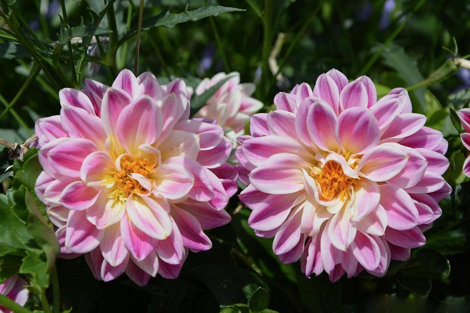 Flowers, Garden, Nature, Petals, Summer Flowers