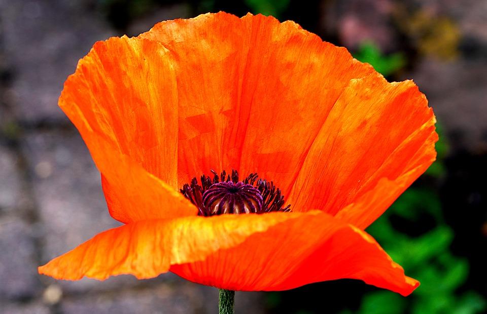 Poppy, Orange Poppy, Flower, Orange Flower, Petals