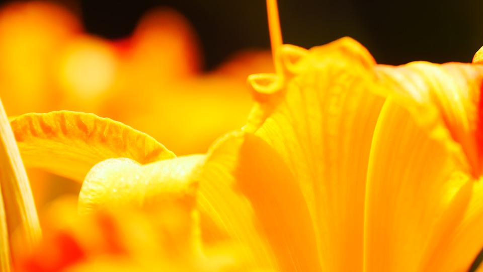 Stamens, Orange, Flower, Pestle, Petals, Garden, Flora
