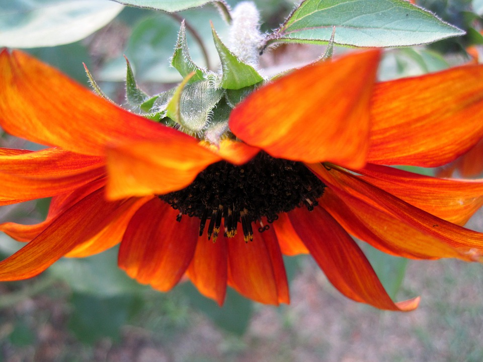 Flower, Bloom, Facing Down, Petals, Orange-red, Seeds