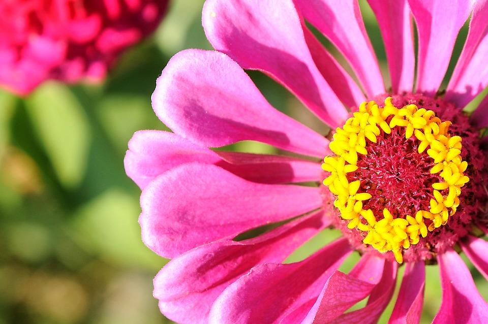 Zinnia, Flower, Pink Flower, Petals, Pistils