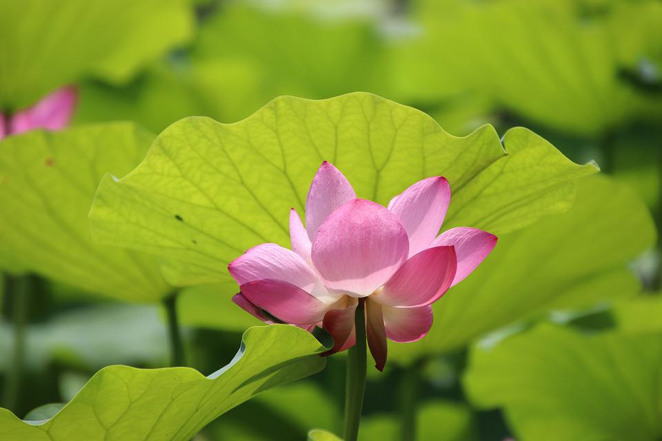 Flower, Lotus, Petals, Aquatic Plant, Pink Flower