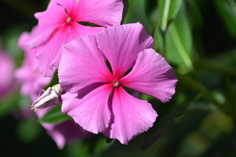 Jamaican Vinca, Periwinkle, Pink Flower, Petals, Pink