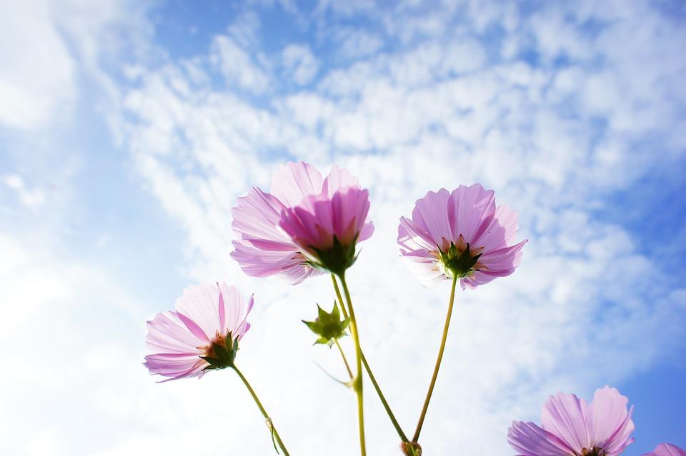 Cosmos, Flowers, Sky, Pink Flowers, Pink Petals, Petals