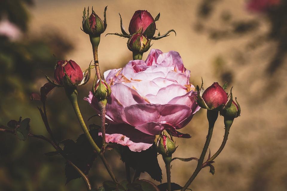 Rose, Bush Rose, Bush, Pink, Petals, Flowering Shrub
