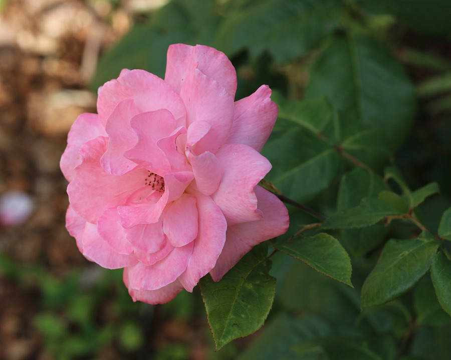 Pale Pink, Pink Rose, Roses, Nature, Petals, Gorgeous