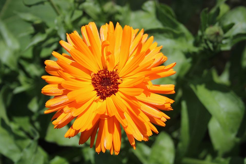 Flower, Petals, Nature, Garden, Marigold, Bloom, Plant