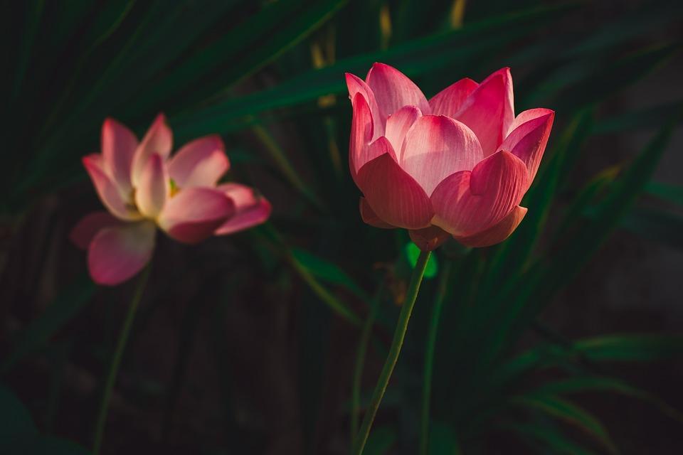 Lotus, Flower, Plant, Petals, Pink Petals, Pink Flower