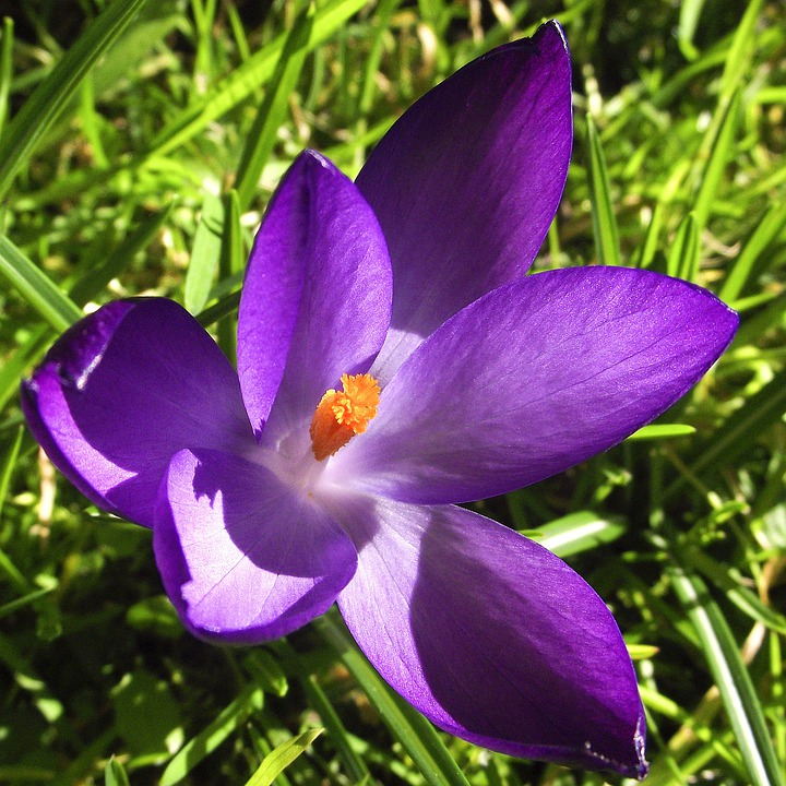 Crocus, Flowers, Violet, Purple, Blue, Petals, Blooming
