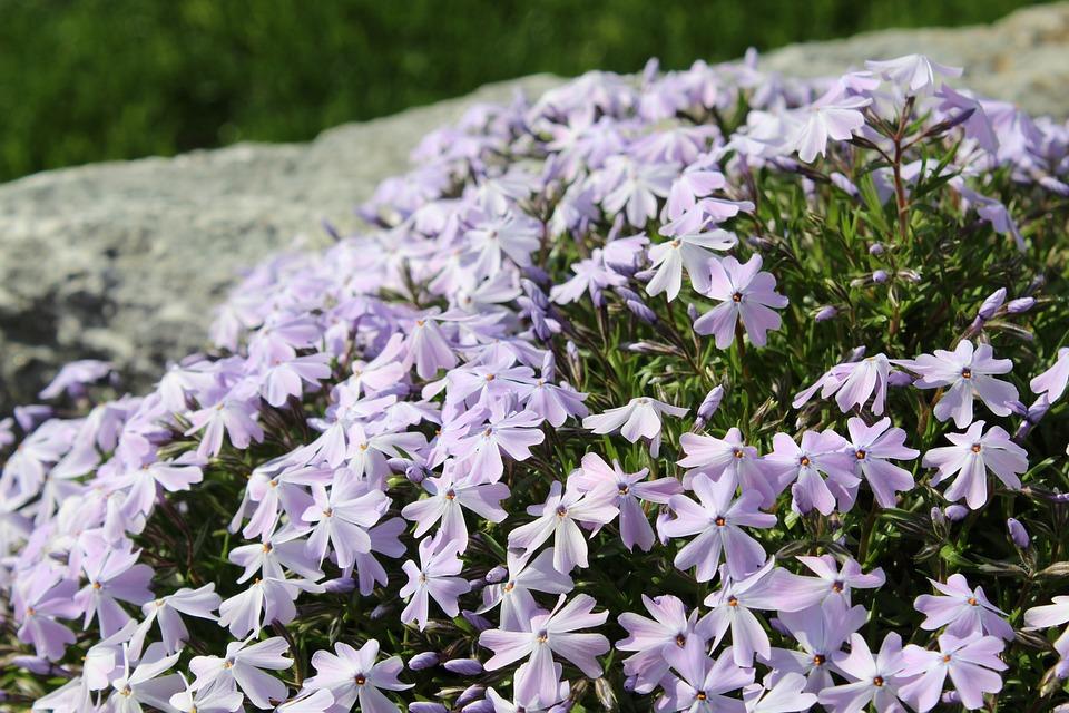Moss Phlox, Flowers, Plants, Purple Flowers, Petals