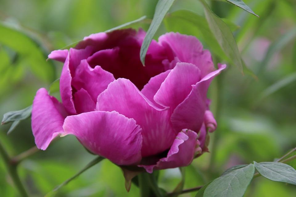 Peony, Flowers, Purple, Pink, Petals, Garden, Gardening