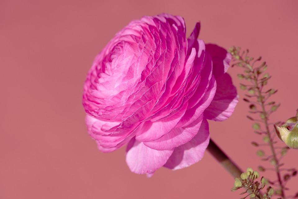 Flower, Ranunculus, Petals, Bloom, Pink, Spring Flower
