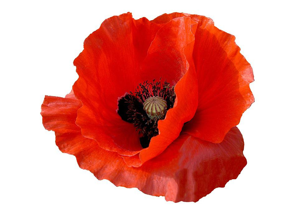 free photo petals red flower outline poppy red flower flower max pixel