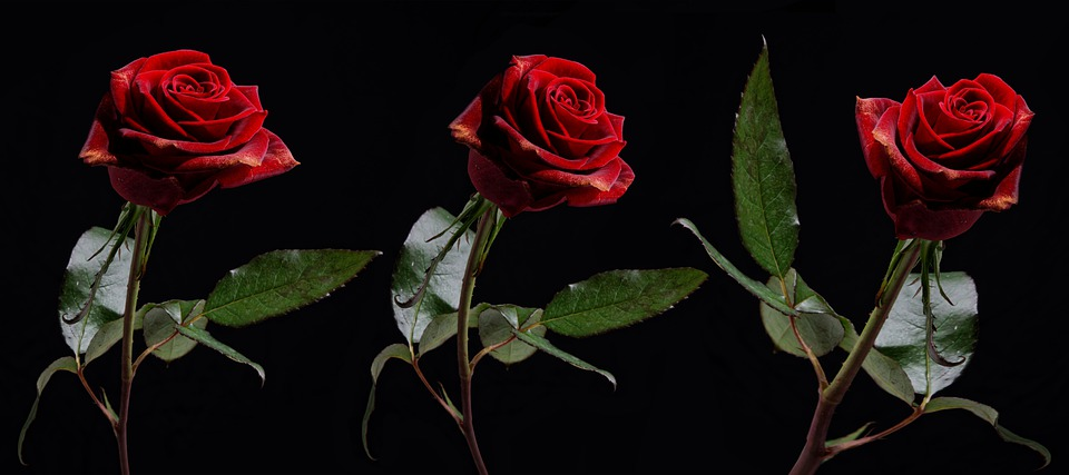 Flowers, Red Roses, Floral, Bloom, Plant, Petals, Roses