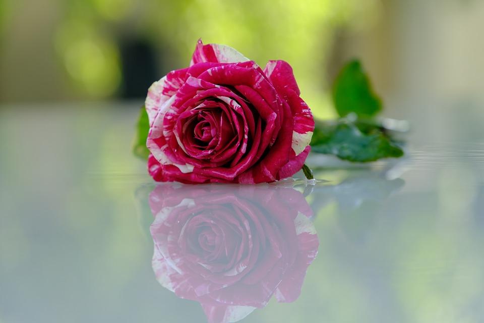 Flower, Rose, Petals, Reflection, Rose Petals, Bloom