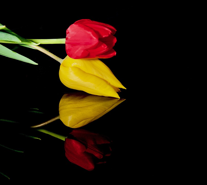 Tulips, Flowers, Reflection, Buds, Petals, Bloom