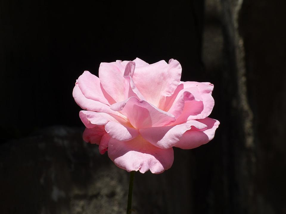Flower, Rosa, Petals, Plant, Nature, Pink