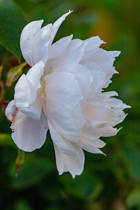 Rose, Flower, White Rose, Rose Bloom, Petals