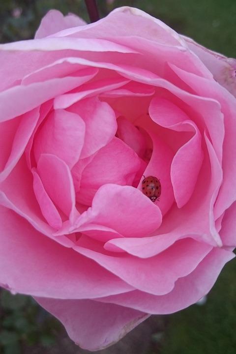Rose, Flower, Ladybug, Pink Rose, Insect, Petals