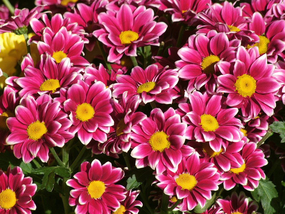 Scrub Daisy, Flowers, Argyranthemum Frutescens, Petals