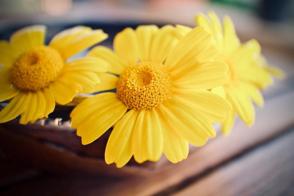 Daisies, Petals, Flower, Nature, Spring, Bloom
