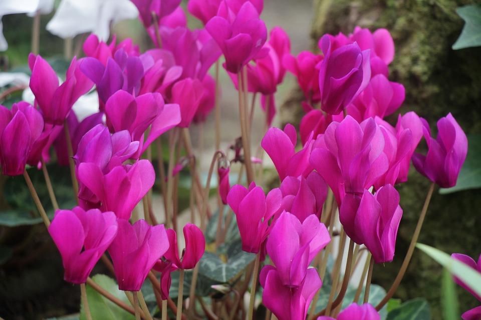 Flowers, Purple, Spring, Garden, Bloom, Nature, Petals