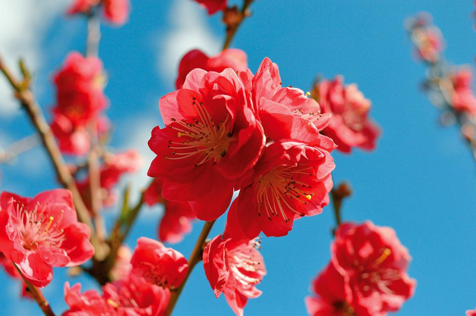 Flowers, Peach Blossom, Petals, Branch, Tree, Spring