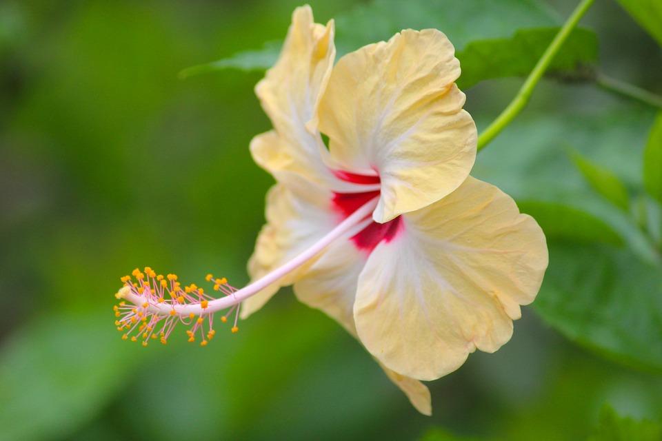 Hibiscus, Flower, Petals, Stamen, Bloom, Blossom