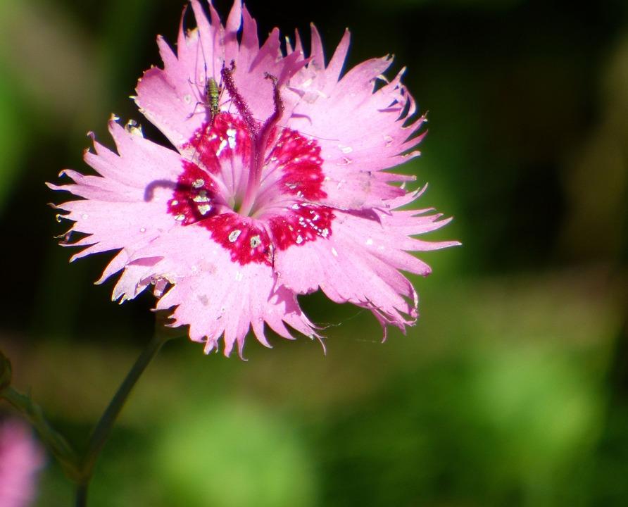 Flower, Summer, Pink, Garden, Nature, Petals, Rod