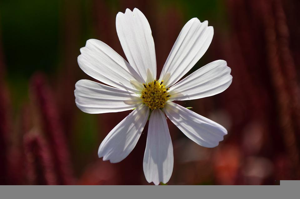 Cosmos, Flower, Cosmea, White Flower, Petals