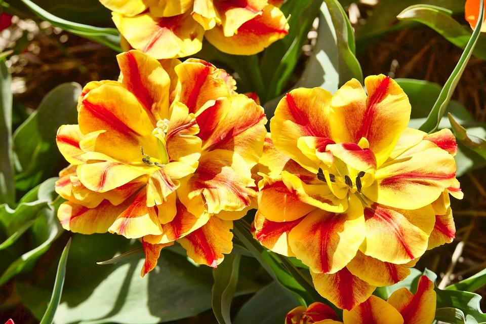 Tulip, Flower, Yellow, Red, Petals, Bloom, Romantic