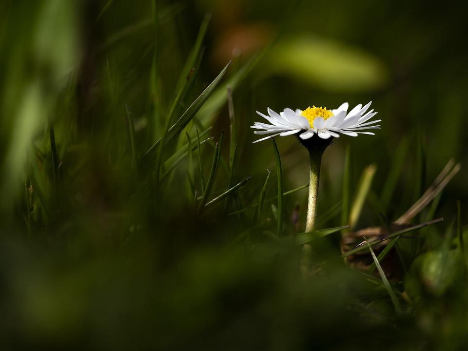 Daisy, Flower, Grass, Petit, Nature, Spring, Garden
