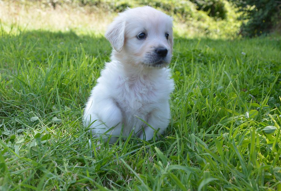 Golden Retriever Puppy, Dog Breed, Petit