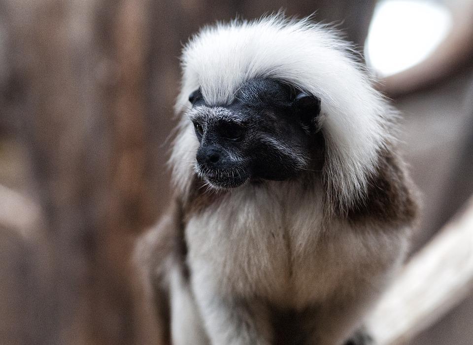 Tamarind Pinche, Monkey, Petit, Cotton-headed Tamarin