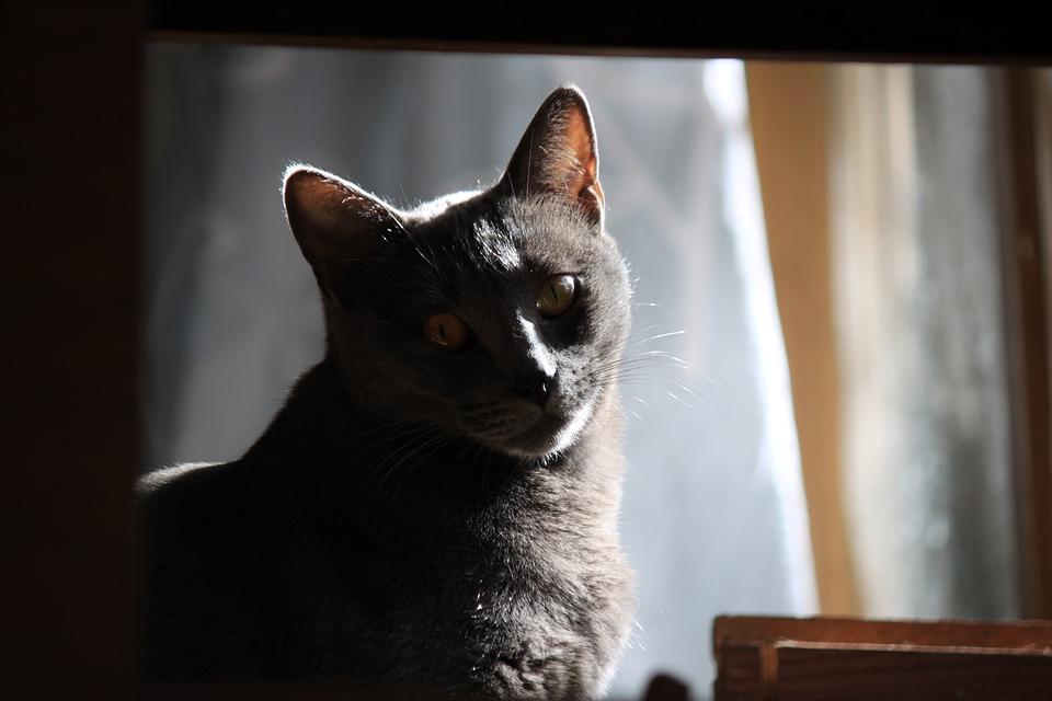 Ata, Cat, Animal, Pet, Grey, Kitten, Pets