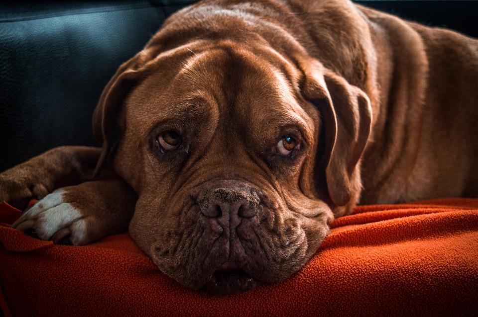 Dog, Pets, Bordeaux Dog, Animal, Old Dog, Sweet