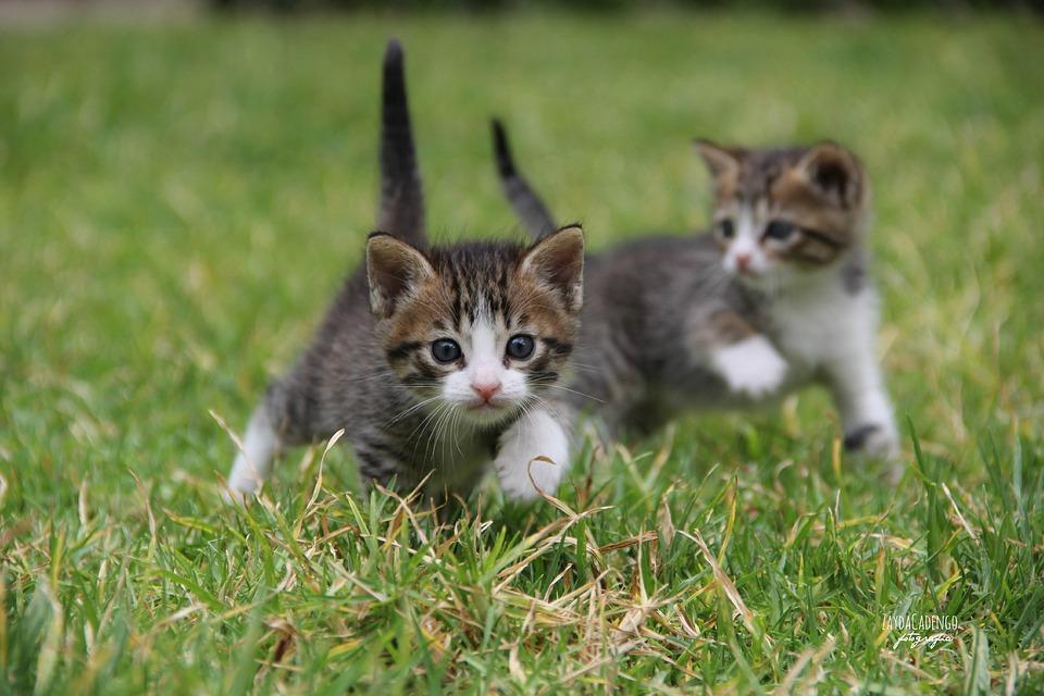 Cats, Kittens, Animals, Feline, Animal, Pets, Cat Face