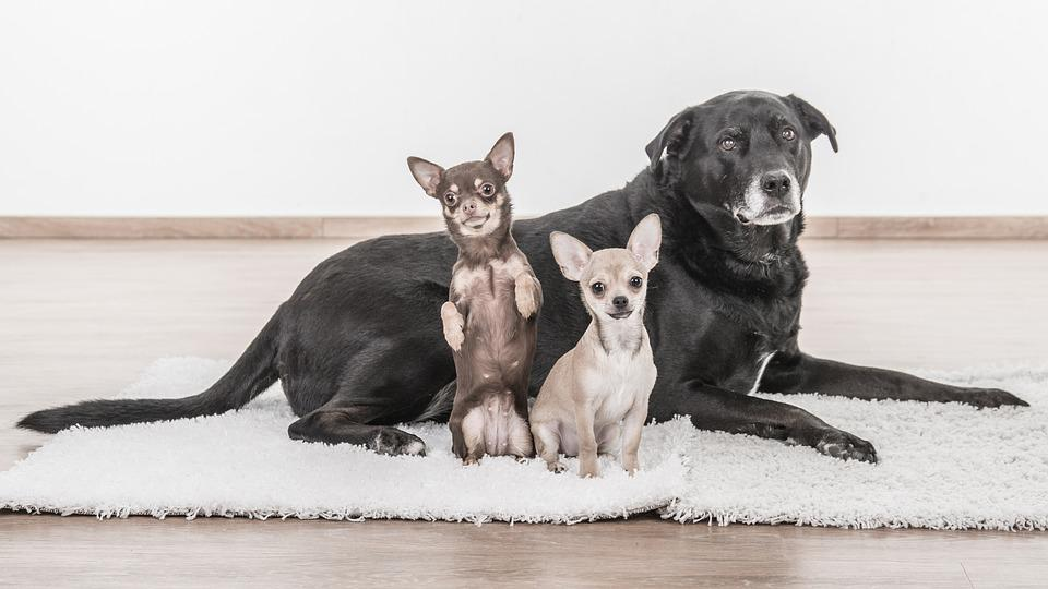 free photo pets chihuahua chihuahua puppy black and white dogs max