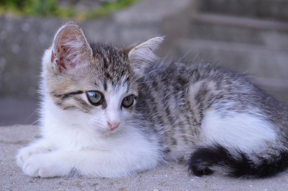 Free Photo Pets Cute Kitten Cat Pet Young Cat Grey Cats Max Pixel