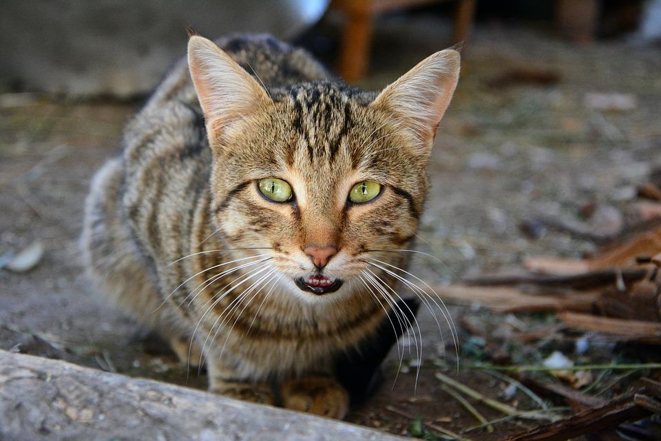 Cat, Pets, Animal, Cute, Sweet, Whisker