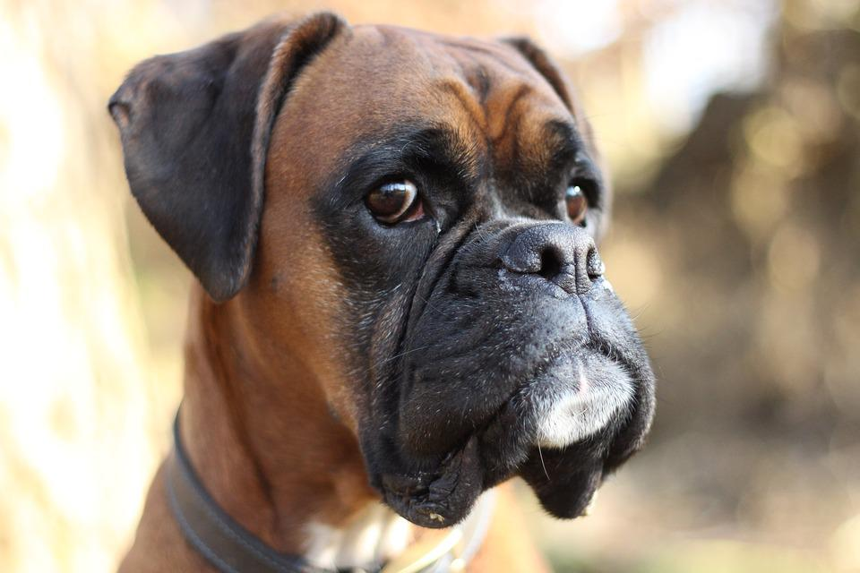 Boxer, Boxer Dog, Dog, Bokeh, Pets, Animals