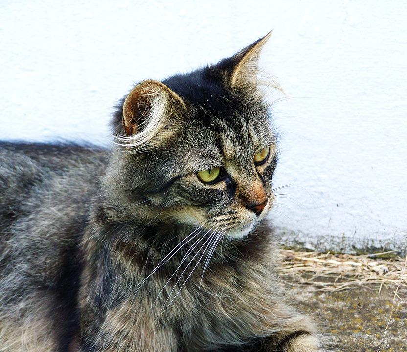 Domestic Cat, Tabby, Pets